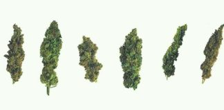 How to choose the best strain for you