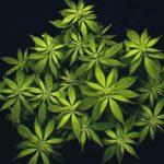 Grow Medicinal Marijuana At Home With A Grow Box