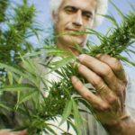 How Cannabis Treats Alzheimer's