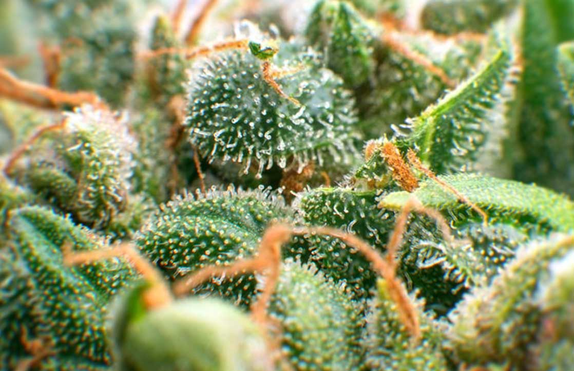 Terpenes May Improve Effectiveness of Medical Marijuana