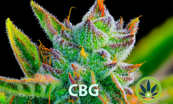 What is Cannabigerol? Learn All About the CBG Cannabis Compound