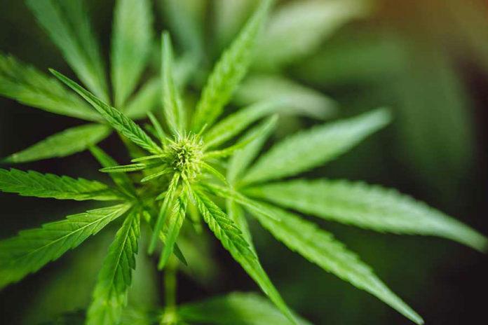 cannabis-cbd-hemp-plant