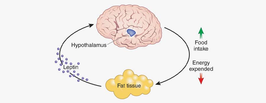 What is Leptin?